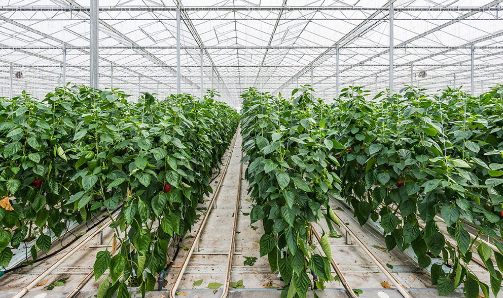Hydroponic cultivation of Red Peppers or Capsicum annuum in a Dutch greenhouse
